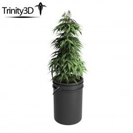 Trinity Marijuana Potted Plant